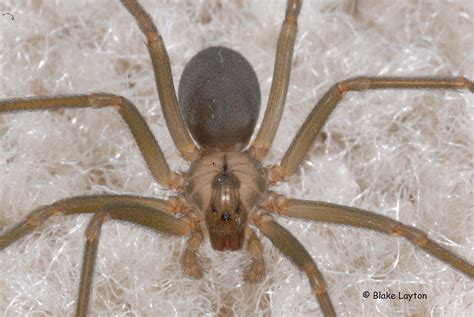 eye pattern of brown recluse brown recluse spider no 28 mississippi state