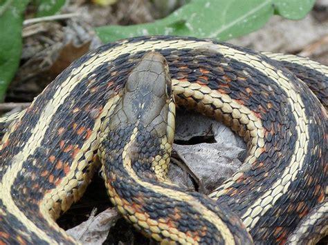 Garter Snake Gordongrice Garter Snake