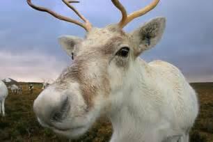 follow piper reindeer