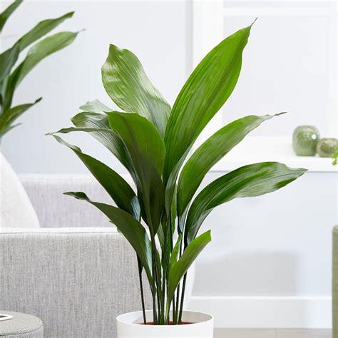 aspidistra elatior buy aspidistra cast iron plant aspidistra elatior delivery by crocus