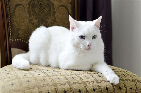 white cat with odd eyes 6 cool facts about your cat s ears catster