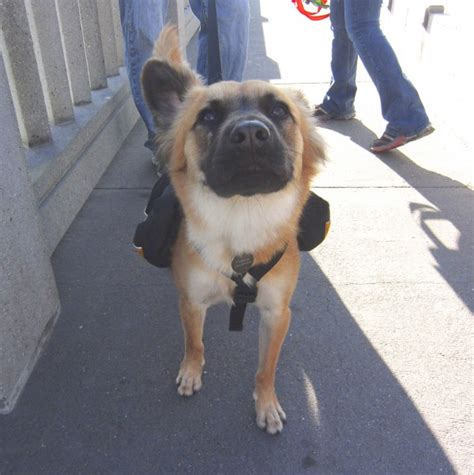 pug in german of the day maxwell the german shepherd mix the dogs of san franciscothe dogs of