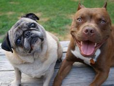 pug mixed with pitbull pictures pugs pits on pitbulls pitbull and pugs