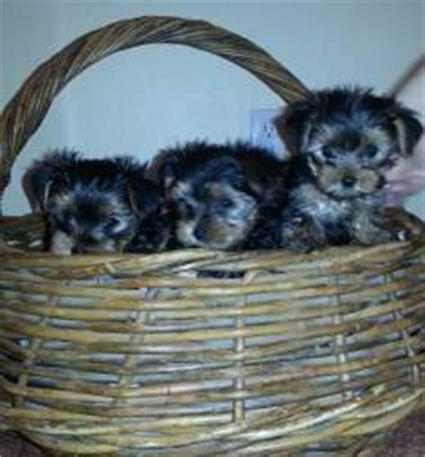 yorkie mating age a terrier age weight pairing