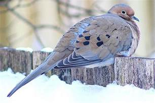 how to attract doves dove attracting tips