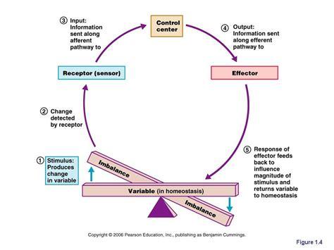 anatomy phys homeostasis