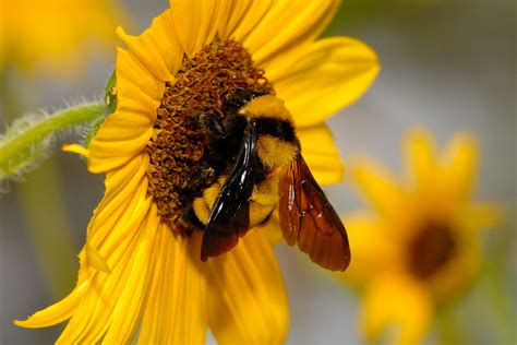 Bumble Bee & Carpenter Bee Pictures