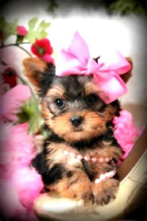 how much are baby teacup yorkies pictures of baby yorkie puppies www pixshark images galleries with a bite