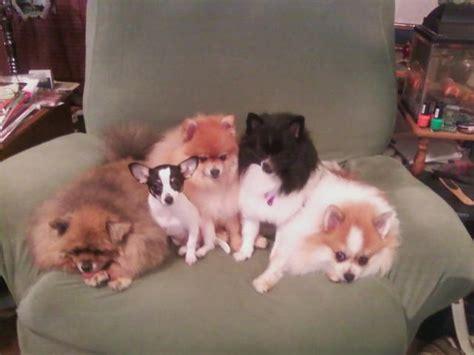 shih tzu designer breeds chihuahua lhasa apso maltese poodle shih tzu designer breeds breeds picture