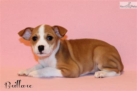tricolor basenji puppies for sale basenji dogs for sale picture and images