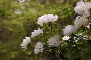 peonia in vaso peonia un fiore assolutamente da coltivare fito