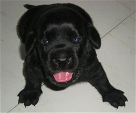 black labrador puppies price black labrador puppies mumbai free classified ads