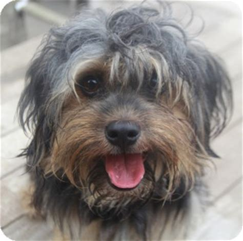 yorkie and miniature poodle mix hoover adopted woonsocket ri yorkie terrier poodle miniature mix