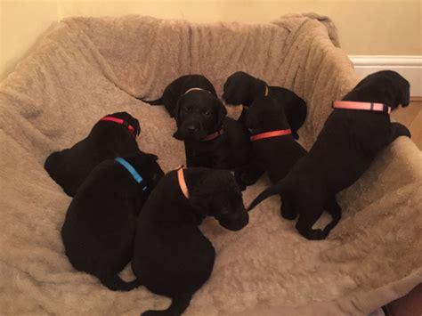 lab puppies for sale in washington black labrador puppies for sale washington tyne and wear pets4homes