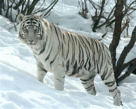 Tiger White siberian tiger facts cubs habitat diet adaptations