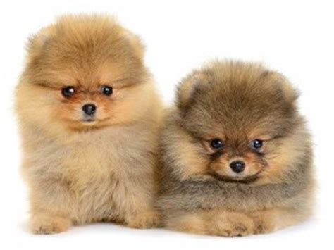 do pomeranians bark a lot apartment dogs best breeds for apartments k9 research lab
