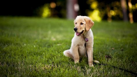 fantastic hd labrador wallpapers hdwallsourcecom