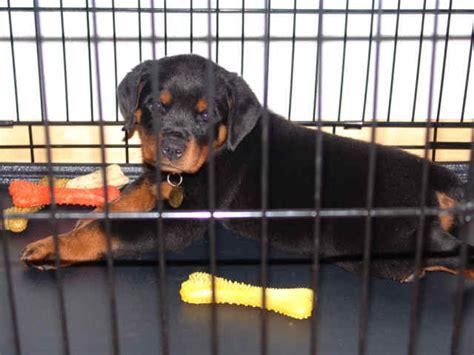 raising a rottweiler puppy raising a bite free rottweiler