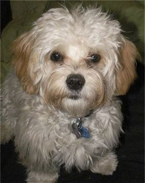 havanese vs cavalier king charles spaniel cavanese breed information and pictures