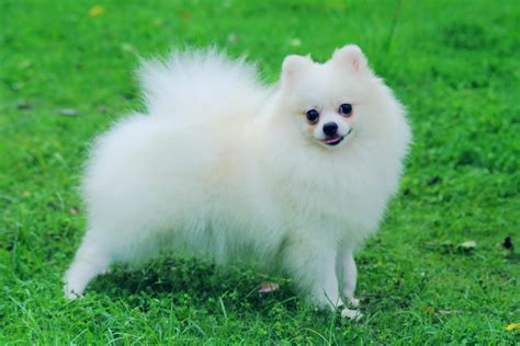 picture of pomeranian pomeranian breed 187 information pictures more