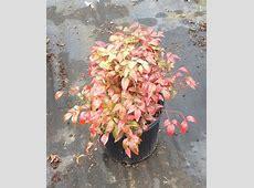 Charles Breedlove Nursery | plantANT.com Liriope Muscari Evergreen Giant