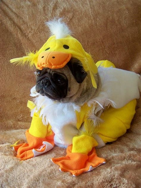 fancy dress pugs 568 best you so pugly images on dogs pugs and pug