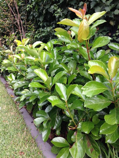 flämischer luster viburnum emerald lustre landscaping plants