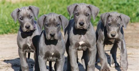 great dane puppy care take proper care of your marmaduke great dane puppy and you ll a loyal gentle