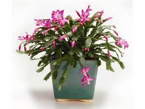 christmas cactus care hgtv