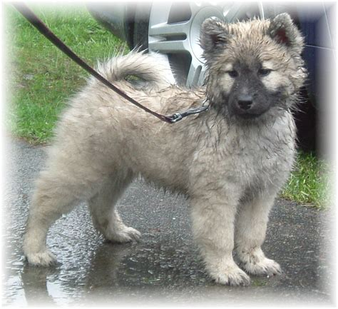 and in a puppy bonny eurasier puppy photo and wallpaper beautiful bonny eurasier puppy pictures