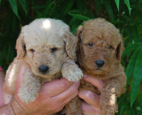 doodle puppies for sale florida goldendoodle breeders florida labradoodle puppies for sale