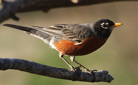 american robin top 10 most interesting facts