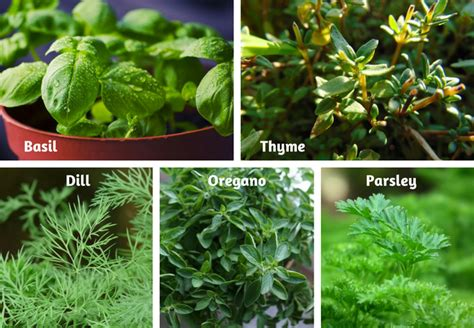 growing herbs indoors from seeds growing herbs from seed basil dill herbs gardening