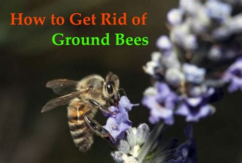 how to get rid of bees in backyard how to get rid of ground bees goodhome ids
