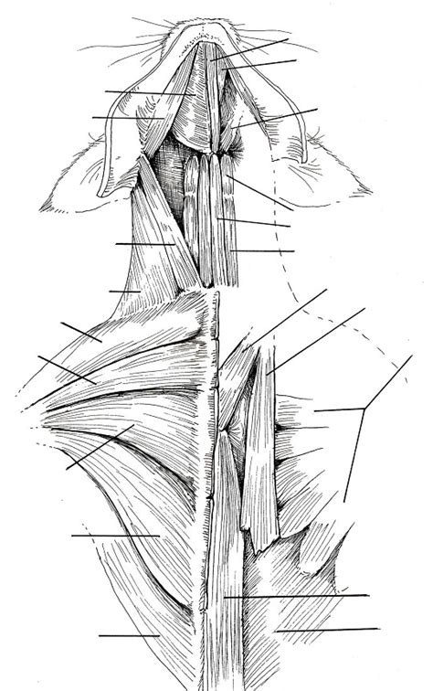 cat neck muscles diagram 1000 images about animal anatomy on