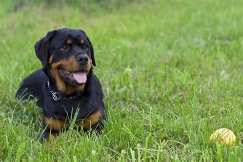 rottweiler losing hair hair loss on the snout of a cuteness