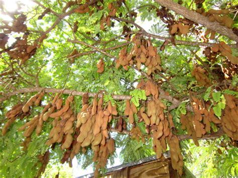 tamarind tree fruit tamarind tree at harbour club villas