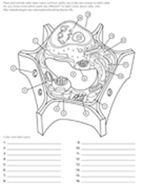 Ask A Biologist Coloring Page Key | plant cell asu ask a biologist