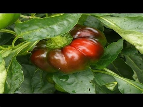 sheepnose pepper capsicum annuum plant review pepper