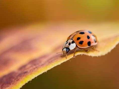 asian beetles and dogs asian beetles could they harm your petmd
