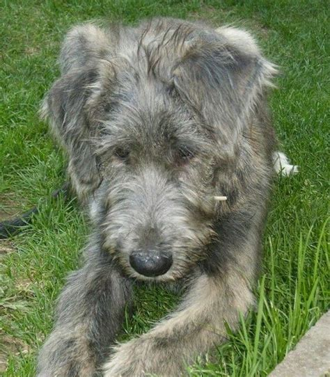 Wolfhound Shedding by Wolfhound Non Shedding 28 Images Wolfhound Tallest