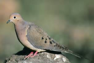mourning dove ornithology lecture and lab