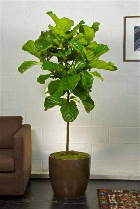 indoor plants online 1000 images about potted plants on pinterest fiddle