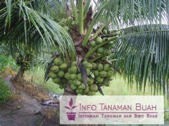 Harga Bibit Kelapa Kopyor Di Jogja tanaman kelapa kopyor lihat daftar harga terbaru dan