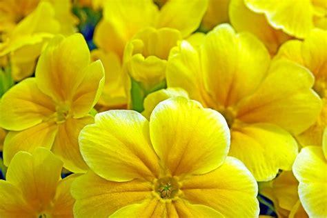 fiori di primavera fiori di primavera da piantare in giardino e in balcone