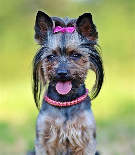 best food for yorkie what is the best food for yorkies pets is my world
