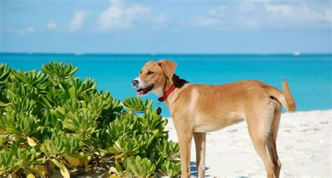 puppy island turks and caicos this turks and caicos island is filled with adoptable puppies wide open pets