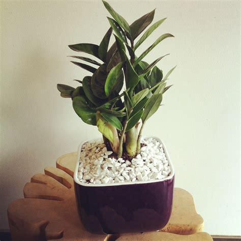 plants for small pots zz plant in small pot zz plant pinterest plants