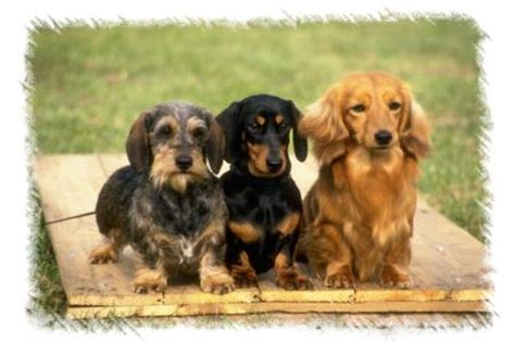 free miniature dachshund puppies colorado miniature dachshund breeder in co miniature dachshund puppies for sale in