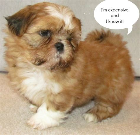 how much shih tzu puppies cost ownership are you ready